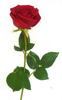 Загадки о растениях (роза)