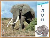 Животный мир саванн: слон