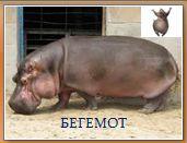 Животный мир саванн: бегемот
