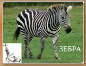 Животный мир саванн: зебра