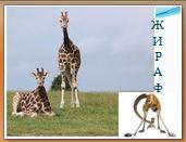 Животный мир саванн: жираф