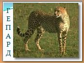 Животный мир саванн: гепард